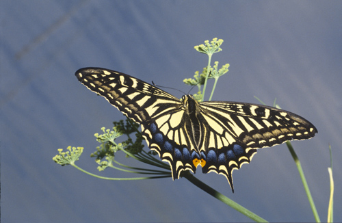 Swallowtail butterfly, papilio machaon, England, Great Britain