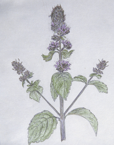 Mentha Pipperata, peppermint, sketch, Great Britain