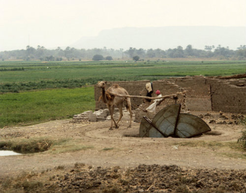 Egypt camel turning a water wheel