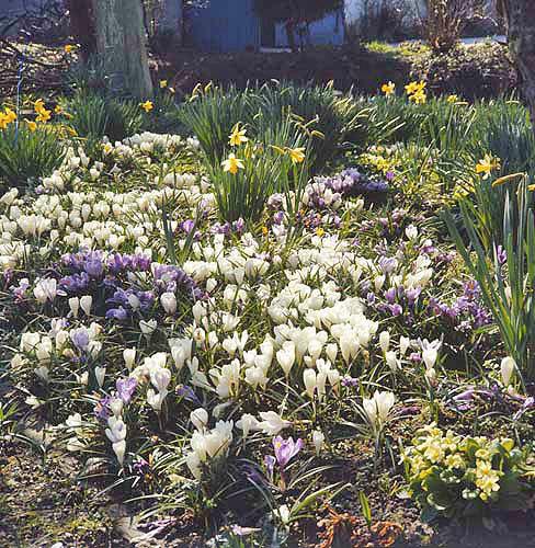 England spring flowers crocuses primroses daffodils mightylinksfo
