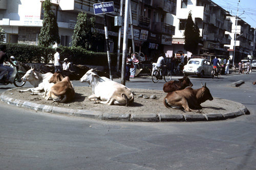 India sacred cows on roundabout