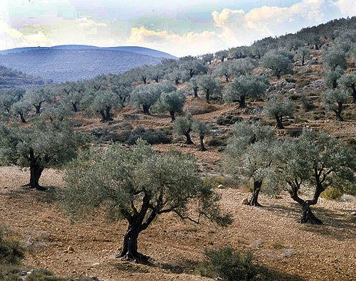 Olive groves in Samaria, Israel