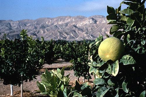 Israel, citrus grove in a kibbutz