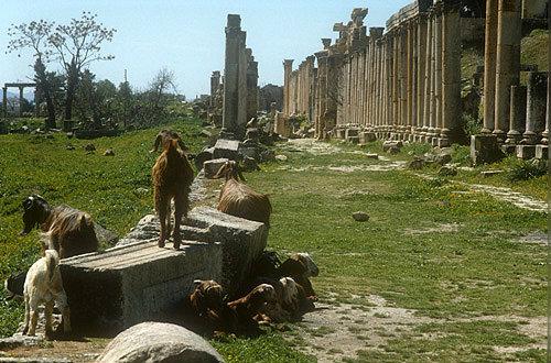 North end of Cardo (street running north-south), with goats, Jerash, Jordan