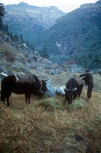 Yaks being unloaded on a trek, Nepal