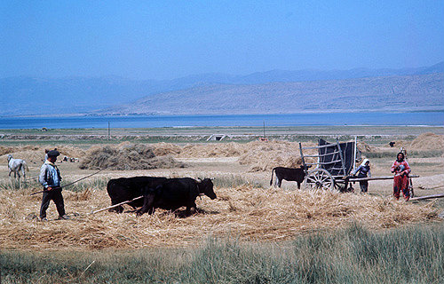 Harvesting on the Anatolian Plateau, Arsenic Lake beyond, Turkey