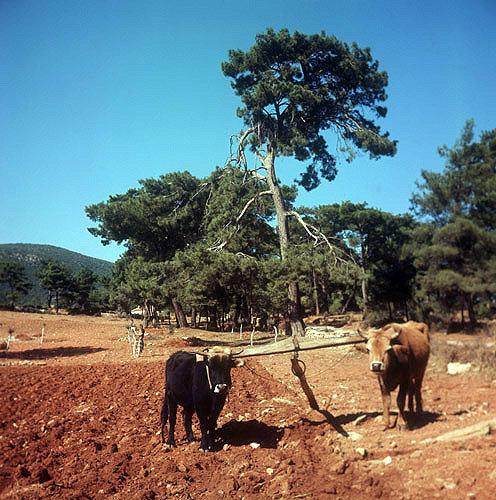 Cattle with wooden plough, Aegean region, Turkey