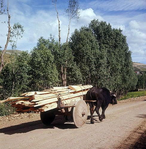 Buffalo and solid wheel cart, north eastern region of Turkey