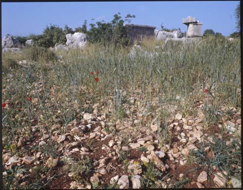 Field with wheat sown on stony ground, Turkey