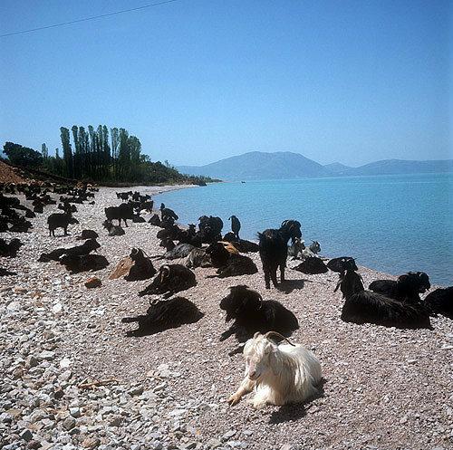 Goats on the shore of Lake Egridir, Pisidia, Turkey