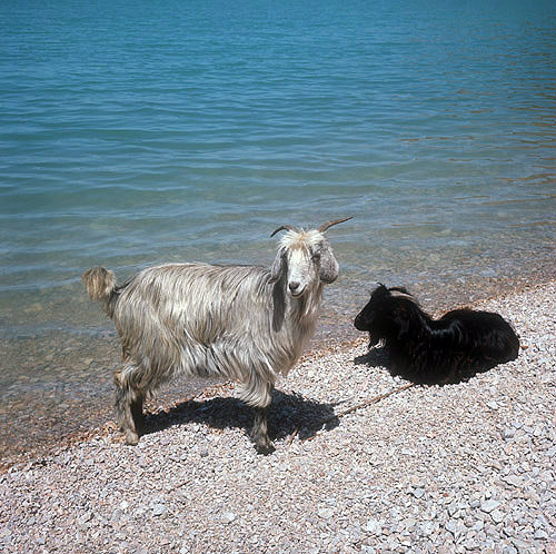 Goats on the shore of Lake Egridir, Pisidia, Turkey