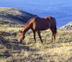 Horse grazing on hillside overlooking the sea, Cornwall, England, Great Britain