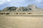 Afghanistan,  camel train enroute between Herat and Kandahar