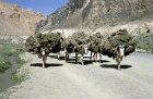 Afghanistan, bringing Har Yar Bota from the mountains for fuel