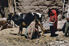 Afghanistan, milking cow inside the qala
