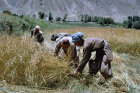 Afghanistan, reaping in the Andarab Valley