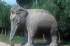 Standing elephant, fifteenth century, on Sacred Way leading to Ming Tombs, China
