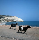 Paphos Cyprus the coast road east of Paphos near the Rock of Aphrodite and goats