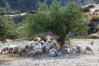 Sheep under a tree, Kibris, Northern Cyprus