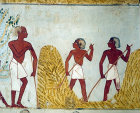 Egypt, Thebes, forking wheat, wall painting in the tomb of Menna, tomb no 69, circa 1422-1411 BC