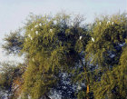 Egypt, early morning, egrets resting in a tree