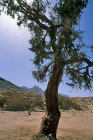 Egypt, Sinai, tamarisk tree in Wadi Skeikh, tamarix nilotica