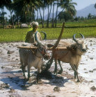 Ploughing with oxen, India