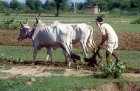 Oxen ploughing, India