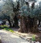 Israel, Jerusalem, two of the eight ancient olive trees in the Garden of Gethsemane