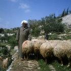 Israel, Jerusalem, Arab  Shepherd with his sheep near the Garden of Gethsemane