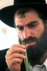 Israel Jerusalem a religious Jew inspects a Lulav (palm branch) as he shops for the four species of Sukkot