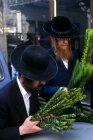 Israel Jerusalem religious Jews inspect Hadass (myrtle) branches as they shop for the four species of Sukkot