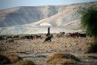 Israel, Arab girl with sheep and goats in the Jordan Valley near Jericho
