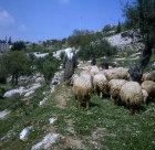 Israel, Jerusalem,  shepherd leading his flock of sheep