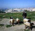Israel, Jerusalem, Arab shepherd  with his sheep