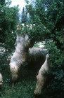 Israel, Jerusalem, Mount of Olives, goats eating a may bush