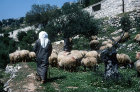 Israel, Jerusalem, shepherd with his flock of sheep