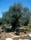 Israel, Jerusalem, ancient olive trees in the Garden of Gethsemane