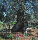 Israel,  Jerusalem, ancient olive tree and flower Garden of Gethsemane
