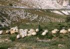 Israel, Bedouin girl with flock of sheep