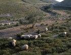 Israel, Bedouin shepherd girl with her sheep in the evening