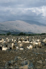 Israel, the Golan Heights, herd of goats and Mount Hermon