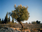 Israel Jerusalem olive tree on the Mount of Olives