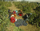 Grape harvesting near Bethlehem, Israel