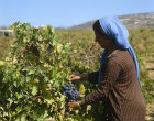 Arab girl picking grapes near Bethlehem, Israel
