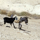 Israel, donkey and goat in the Judean hills
