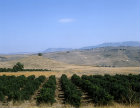 Israel, the Golan Heights, a citrus grove