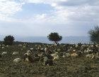 Israel, Golan Heights, herd of Goats