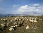 Israel, herd of goats on the Golan Heights, Mount Hermon in the background