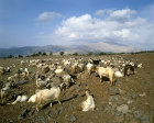 Israel, herd of goats and Mount Hermon